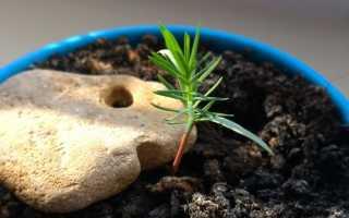 Карликовая сосна: сорта, как вырастить из семян, уход, фото