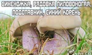 Рядовка лиловоногая (Синеножка): где растет, как выглядит, можно ли есть, вкус