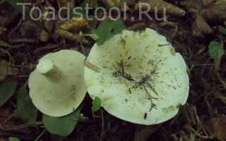 Груздь сизоватый (Lactarius glaucescens): как готовить, как выглядит, где и как растет, съедобный или нет
