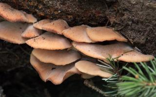 Пилолистничек волчий (пилолистничек лисий, войлочный, Lentinellus vulpinus): как выглядит, где и как растет, съедобный или нет