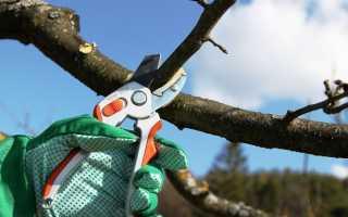 Обрезка персика осенью: видео для начинающих, сроки, правила
