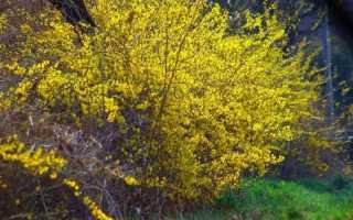 Форзиция: фото и описание кустарника, использование в ландшафтном дизайне