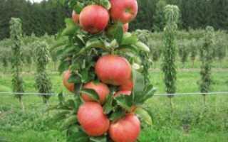 Обрезка колонновидных яблонь весной + схема, видео для начинающих