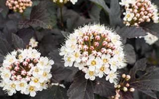 Пузыреплодник: размножение черенками летом, весной и осенью