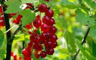 Красная смородина Ненаглядная: описание сорта, фото, отзывы