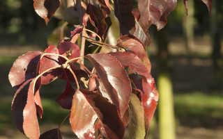 Болезни груши: листья бледные, краснеют, коричневеют, светло-зеленые, красные точки
