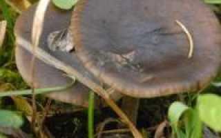 Меланолеука полосатоножковая: описание, можно ли есть, правила сбора