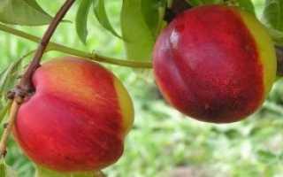 Как укрыть персик на зиму: обработка, подкормка, уход