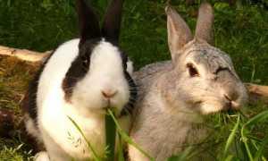 Геморрагическая болезнь кроликов: фото, симптомы, лечение