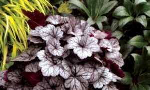 Гейхера: посадка из семян и уход, советы, отзывы, фото
