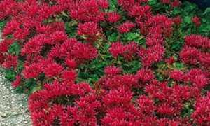 Очиток почвопокровный (стелющийся): сорта и виды с фото и названиями, размножение, выращивание