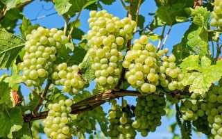 Обрезка винограда весной для начинающих в картинках