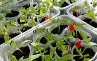 Когда и как правильно пикировать рассаду помидоров