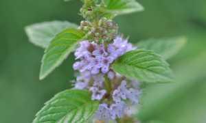 Мята полевая (луговая, Mentha arvensis): фото, лечебные свойства, применение, посадка и уход, особенности выращивания