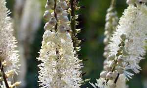 Клопогон: посадка и уход, фото, выращивание из семян, применение в ландшафтном дизайне, размножение