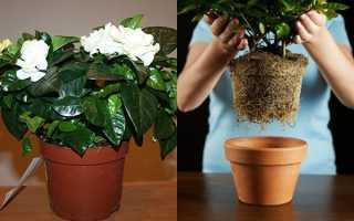 Как сохранить гортензию в горшке: в квартире и подвале, как часто поливать до посадки в грунт