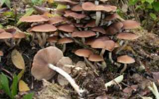 Псатирелла водолюбивая (Псатирелла шаровидная): где растет, фото, съедобность