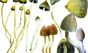 Псилоцибе полуланцетовидная (грибы веселушки, Psilocybe semilanceata): как выглядит, где и когда растет в России, в Подмосковье