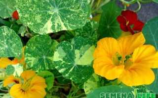 Как собрать семена настурции