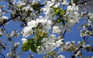 Сезон черешни в России: периоды плодоношения, причины отсутствия цветов и плодов