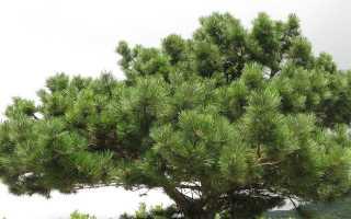 Сосна крымская: выращивание, болезни и вредители, размножение, фото