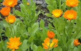 Сорта мускатной тыквы с фото и описанием. Характеристика растений