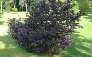 Лещина (фундук) крупная Пурпуреа: описание, уход, зимостойкость, фото
