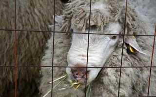 Овцы: разведение, содержание, кормление и выпас, лучшие породы