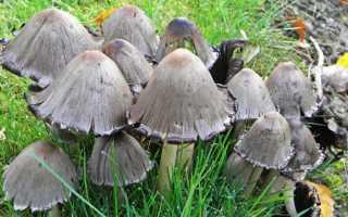 Навозник Романьези: где растет гриб, как выглядит, съедобность, фото