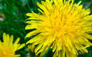 Одуванчик для печени: лечение корнем, листьями, цветками, отзывы