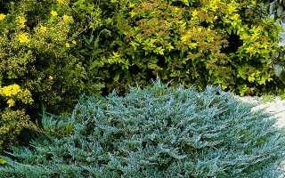 Можжевельник стелющийся (ползучий): описание, посадка и уход, размножение, фото