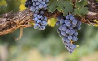 Вино в домашних условиях из винограда Изабелла: рецепт