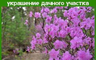 Рододендрон даурский: описание, сорта, выращивание и уход, лечебные свойства