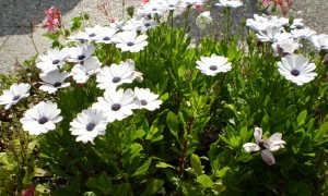 Остеоспермум: выращивание из семян, как и когда сажать на рассаду, фото, видео