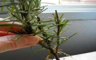 Розмарин: выращивание из семян, черенками, из веточки, как укоренить