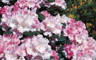 Рододендрон якушиманский: Блюретта, Голден Торч, Бразилия, Лорелей, Лихтфаер