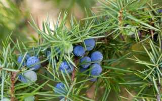 Как вырастить можжевельник из семян в домашних условиях