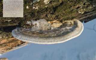 Трутовик горбатый (Траметес горбатый, Trametes gibbosa): как выглядит, где и как растет, съедобный или нет